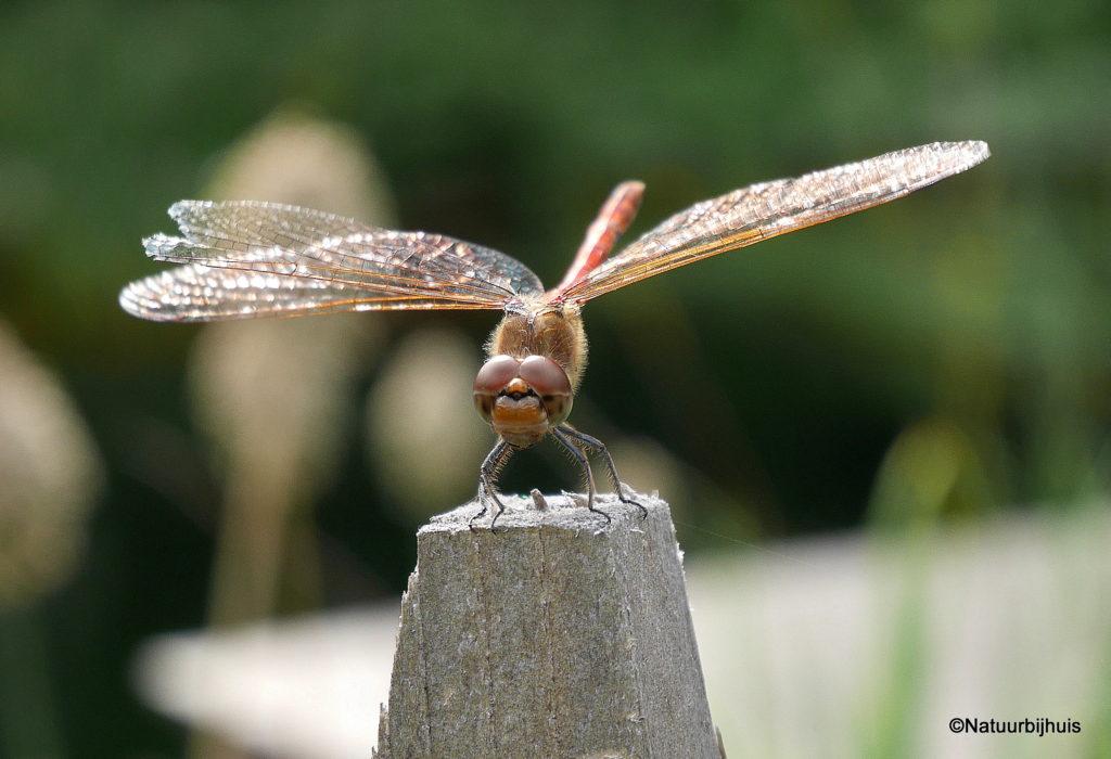 natuurlijke zwemvijver ontwerp natuurbijhuis kastanje hekwerk libelle