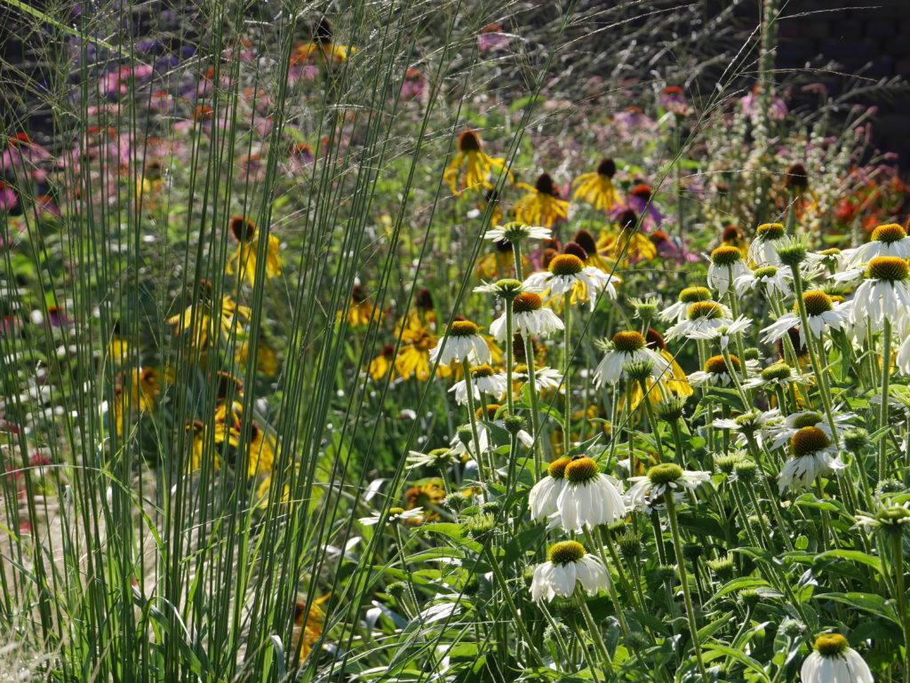 Border als een boeket beplanting Echinacea