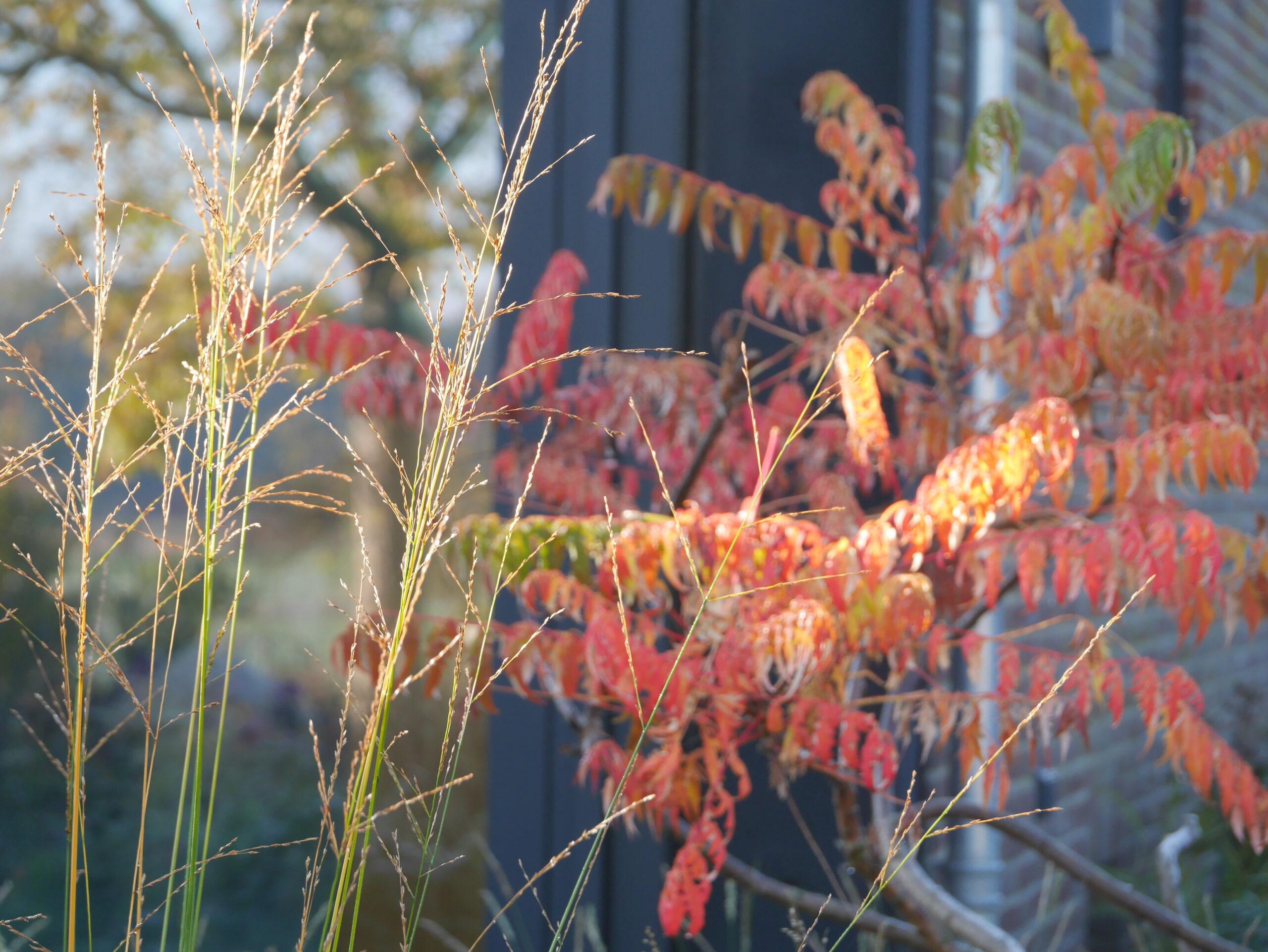 Rhus glabra in herfstkleur