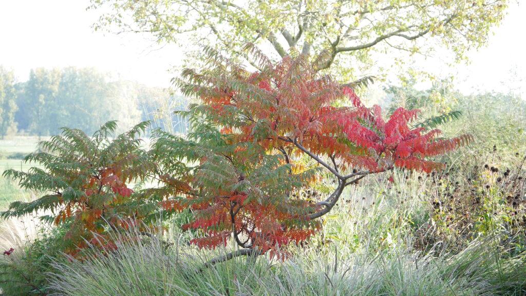 Rhus glabra laciniata in de herfst