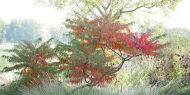 rhus glabra laciniata herfstkleur