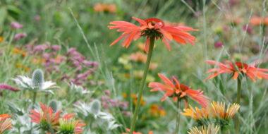 echinacea summer sun® combinatie