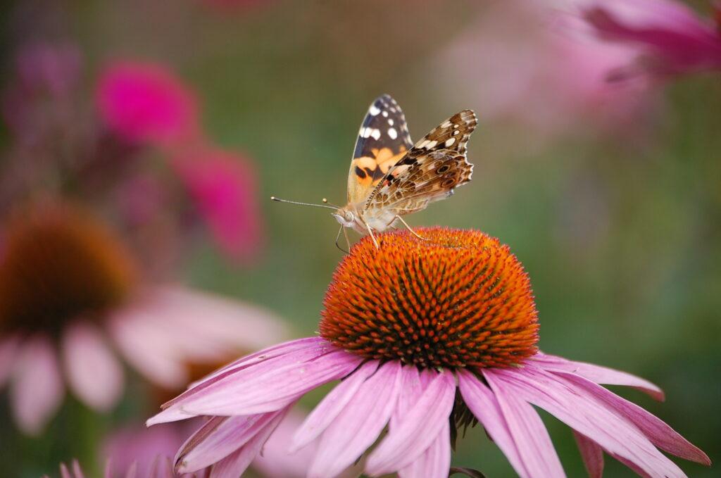 Echinacea vlinder